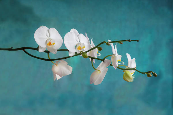 Photograph - Perfect Phalaenopsis Orchid 107 by Rich Franco