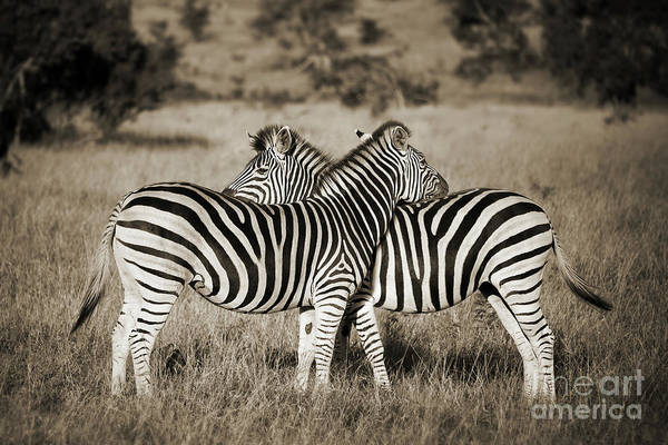 Wall Art - Photograph - Perfect Zebras by Delphimages Photo Creations