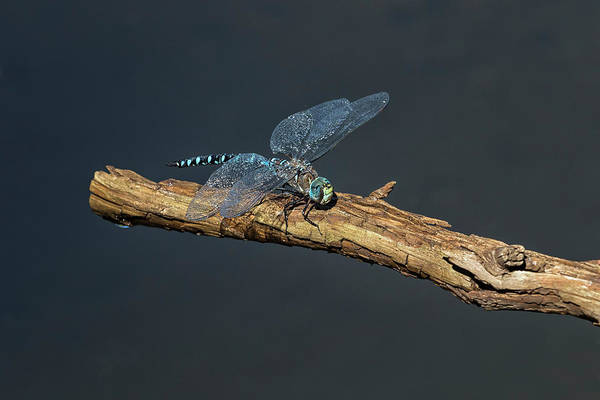 Photograph - Peril And Rescue For A Dragonfly, Rescue by Belinda Greb