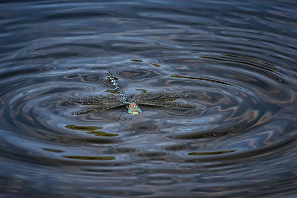 Photograph - Peril And Rescue For A Dragonfly, Sinking by Belinda Greb
