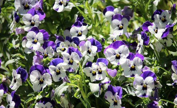 Photograph - Perky Face Pansies  by Cynthia Guinn