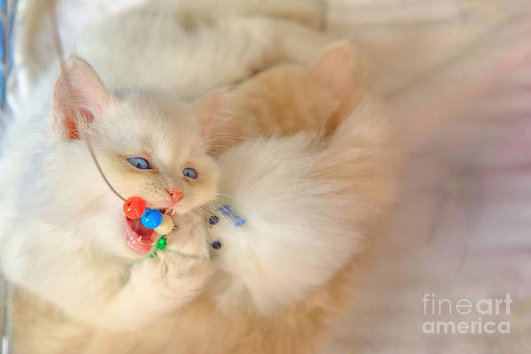 Photograph - Persian Cat Playing by Benny Marty