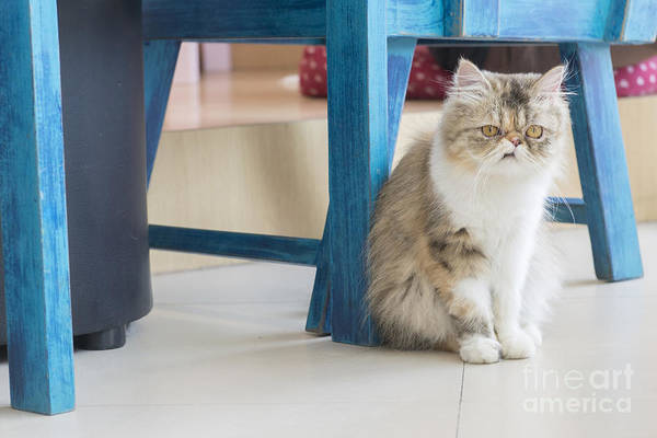 Wall Art - Photograph - Persian Cat Sitting On The Floor by Fotogenicstudio
