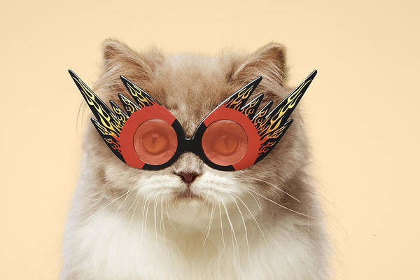 Dressing Up Photograph - Persian Cat Wearing Flaming Eye Glasses by Gk Hart/vikki Hart