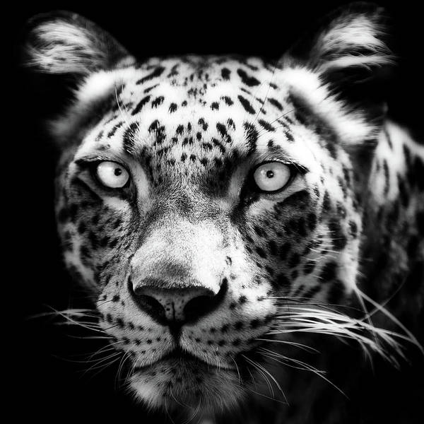 Photograph - Persian Leopard by Andrew Davies