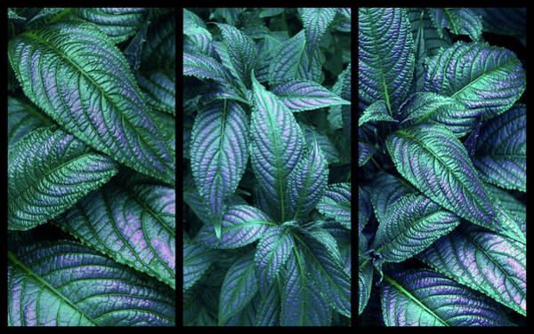 Photograph - Persian Shield Triptych by Jessica Jenney