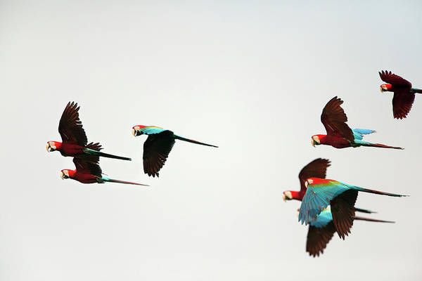 Macaw Photograph - Peru, Red And Green Macaws Flying by Frans Lemmens