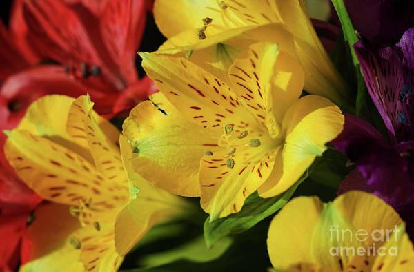 Photograph - Peruvian Lilies by Rachel Cohen