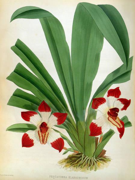 Painting - Pescatorea Klabochurum Lindenia Orchid by Jean Jules Linden