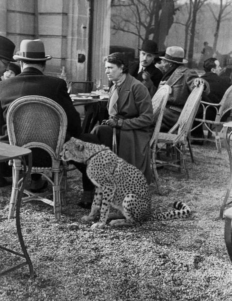 Human Interest Photograph - Pet Cheetah by Alfred Eisenstaedt
