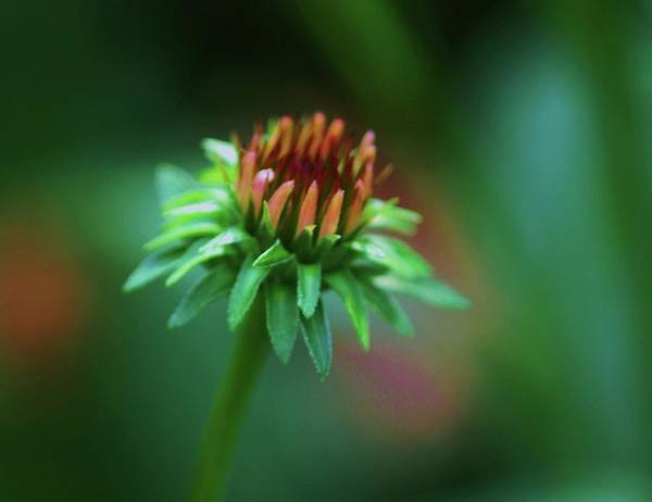 Coral Photograph - Petal Peach Coneflower by Renee Rendler-kaplan, Photographer
