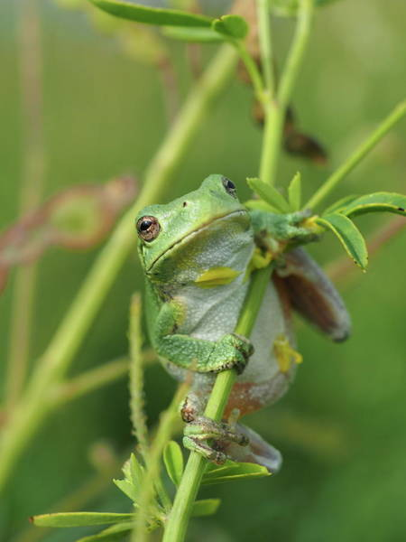 Photograph - Petals The Tree Frog by James Peterson