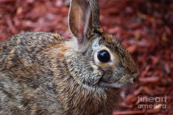 Photograph - Peter Rabbit Two by Patti Whitten