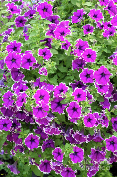 Wall Art - Photograph - Petunia Corona Amethyst Flowering by Tim Gainey