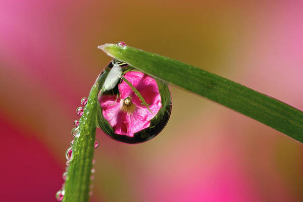 Fragility Photograph - Petunia Dewdrop Refraction by Phil Corley   Goldenorfephotography