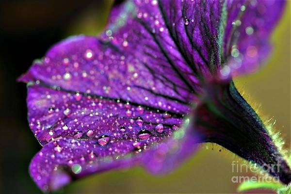 Photograph - Petunia Drops by Patti Whitten