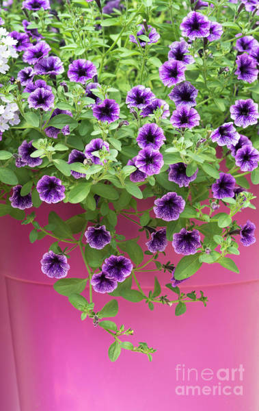 Wall Art - Photograph - Petunia Littletunia Blue Vein Flowers by Tim Gainey