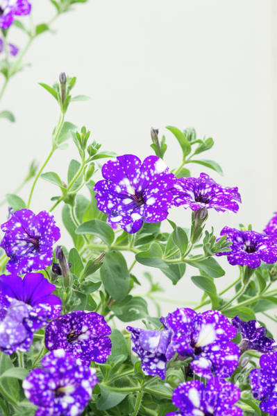 Wall Art - Photograph - Petunia Night Sky Flowers by Tim Gainey