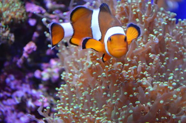 Underwater Camera Photograph - Pez Payaso by Jrmb