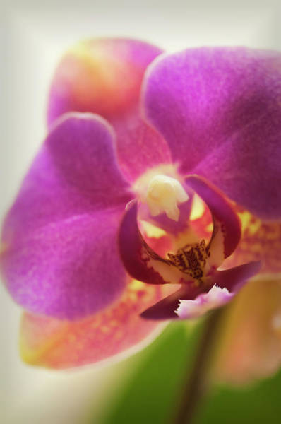 Rockville Photograph - Phalaenopsis Orchid Flower, Close-up by Maria Mosolova