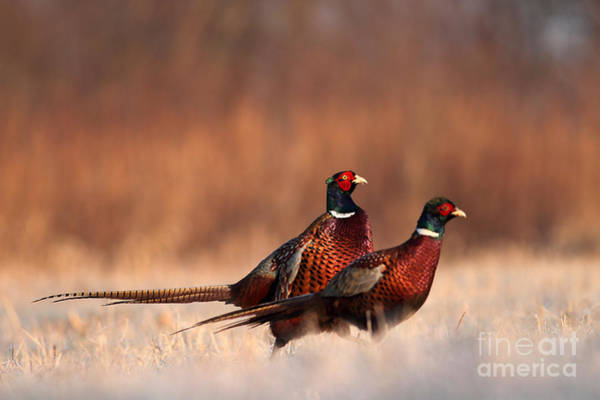 Wall Art - Photograph - Pheasant by Adam Fichna