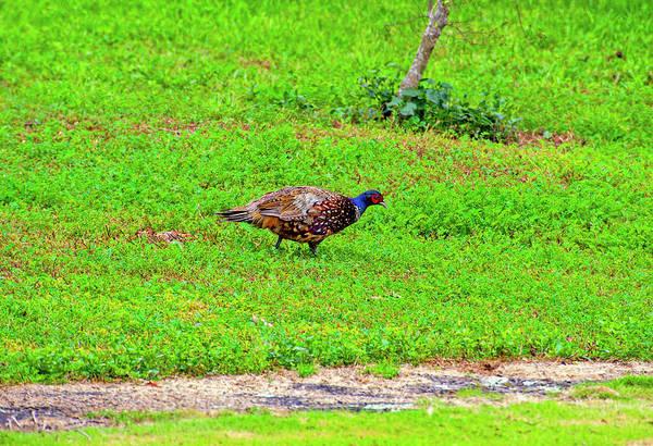 Photograph - Pheasant by Anthony Jones