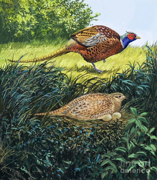 Wall Art - Painting - Pheasants Nest by Unknown