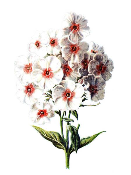 Wall Art - Mixed Media - Phlox Flower by Naxart Studio
