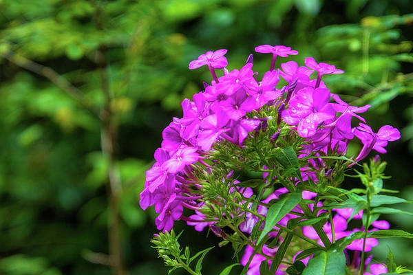 Photograph - Phlox by Randy Bayne