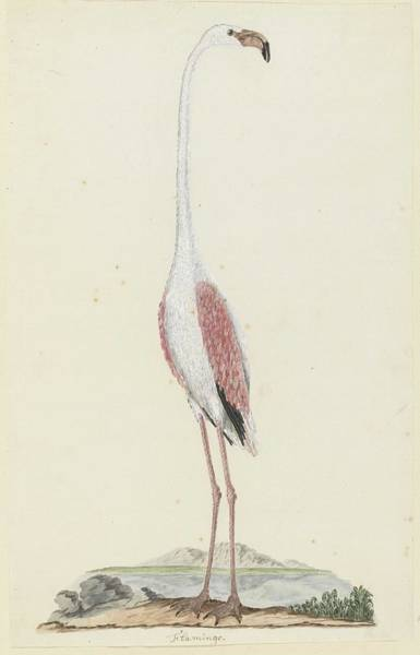 Wall Art - Painting - Phoenicopterus Ruber Roseus Greater Flamingo, Robert Jacob Gordon, 1777 - 1786 by Robert Jacob Gordon