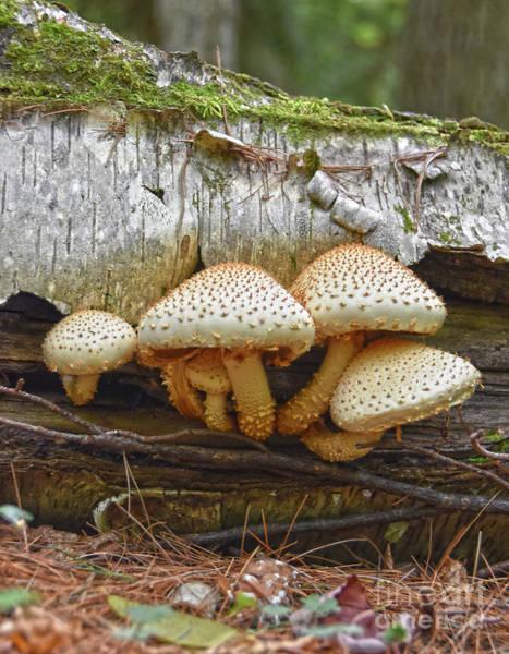 Photograph - Pholiota Squarrosa, Shaggy Scalycap Mushroom by Christine Dekkers
