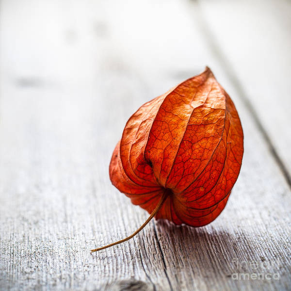 Pod Wall Art - Photograph - Physalis Alkekengi On Wood by Pavel Hlystov
