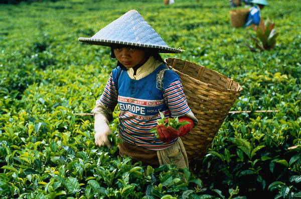 Java Tea Photograph - Picking Tea In West Java by Olivier Cirendini