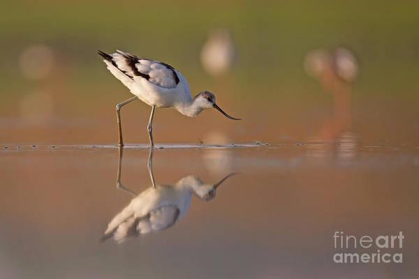 Wall Art - Photograph - pied avocet Recurvirostra avosetta b4 by Alon Meir