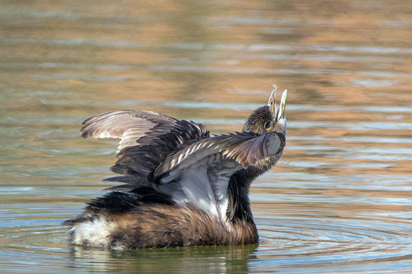 Photograph - Pied-billed Grebe 1199-011719 by Tam Ryan