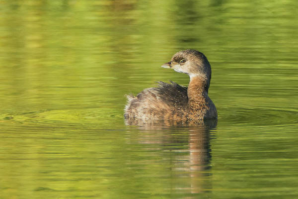 Photograph - Pied-billed Grebe 2983-012819 by Tam Ryan