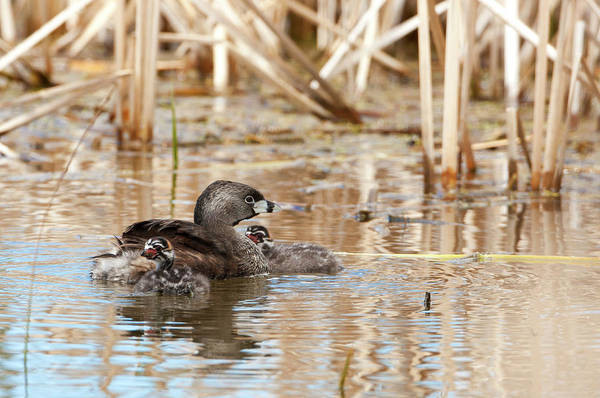 Wall Art - Photograph - Pied Billed Grebe 3997  Podilymbus Podiceps  by Michael Trewet