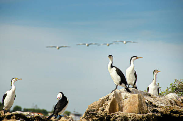 Cormorant Wall Art - Photograph - Pied Cormorants by Auscape/uig