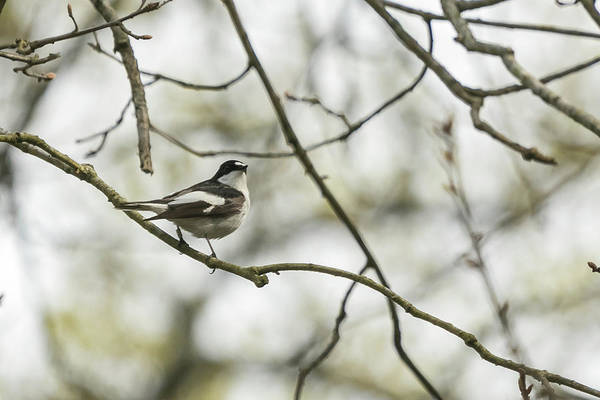 Photograph - Pied Flycatcher by Wendy Cooper
