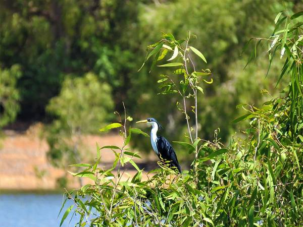 Photograph - Pied Heron by Joan Stratton