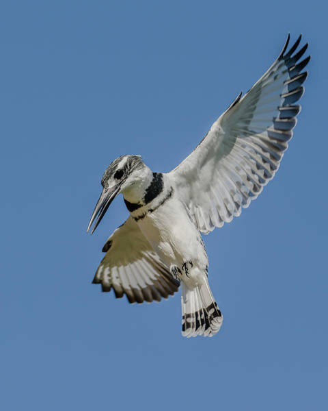Wall Art - Photograph - Pied Kingfisher Flight by Morris Finkelstein