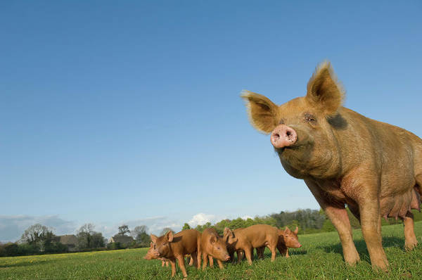 Sow Photograph - Pig In Field by Henry Arden