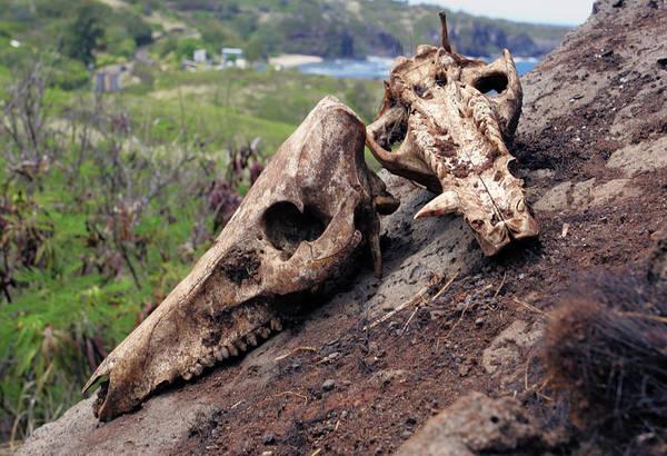 Photograph - Pig Skulls by Anthony Jones