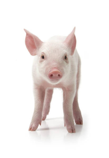 Pig Photograph - Pig Standing, Front View, White by Digital Zoo