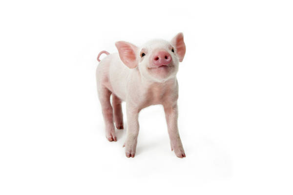 Pig Photograph - Pig Standing Looking Up, White by Digital Zoo