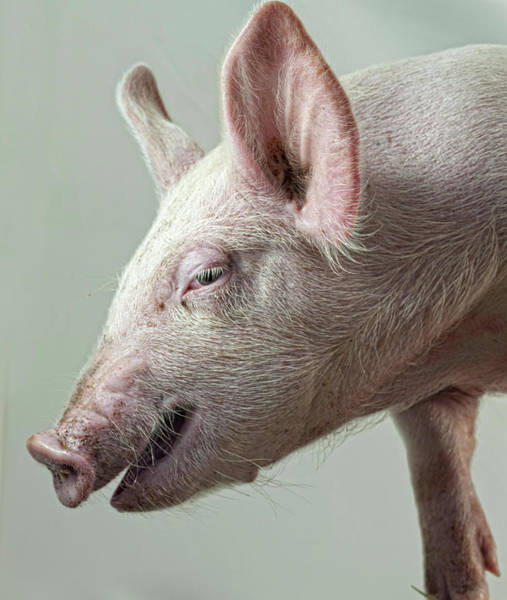 Pig Photograph - Pig by The Plummer-kennedy Conspiracy