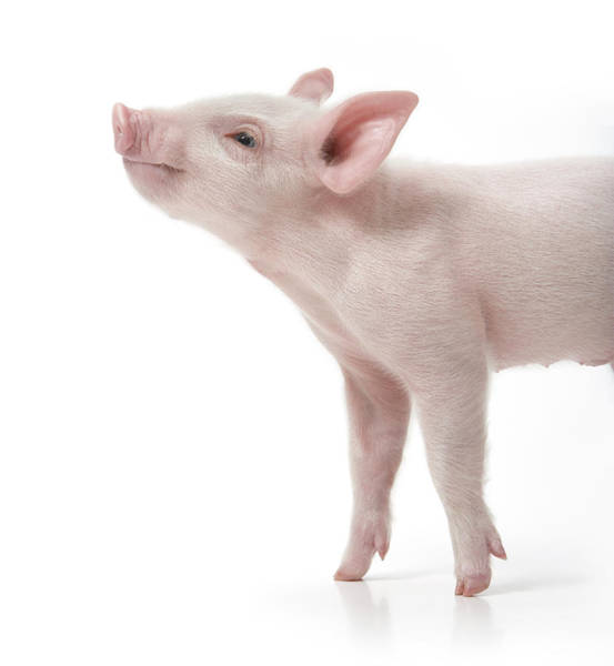 Pig Photograph - Pig With Nose In Air, Side View, White by Digital Zoo