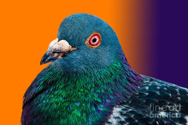 Wall Art - Photograph - Pigeon Close Up Portrait Isolated In by Altin Osmanaj