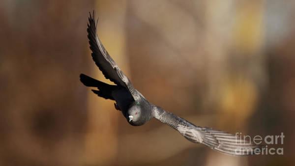Photograph - Pigeon In-flight by Robert WK Clark