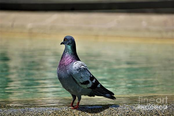 Photograph - Pigeon by Jimmy Clark